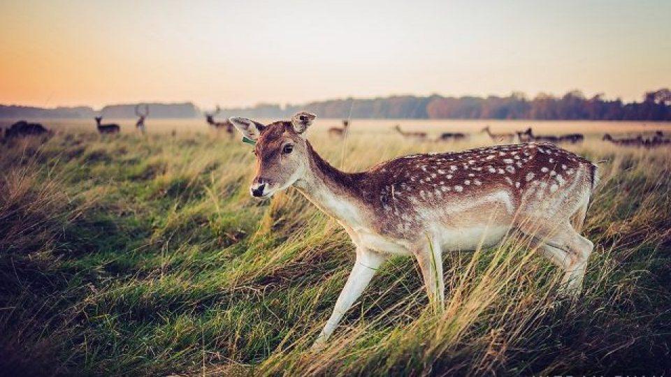 Phoenix Park Deer Tour